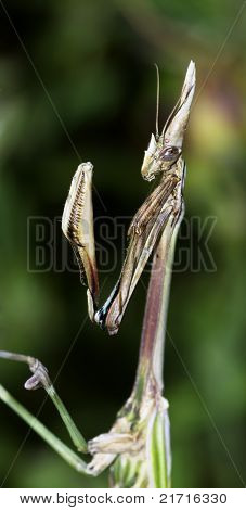 Mantis Profile