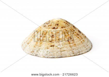 Common Limpet (patella Vulgata)