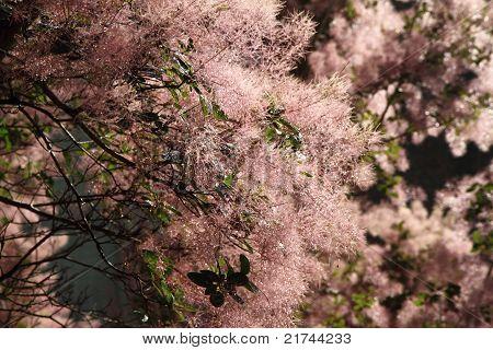 Eurasian smoketree