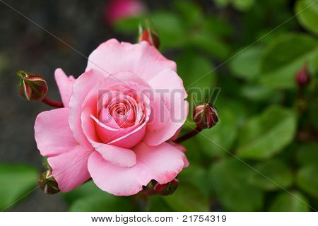 Pink Rose With Candy Stripe Buds