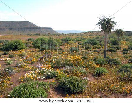 Namaqualand Flowers 1