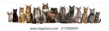 poster of Many Cats sitting in a row, isolated on white