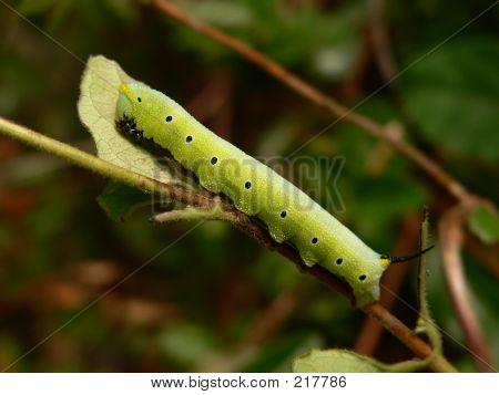 Caterpillar 002