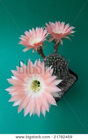 Salmon Cactus Flowers