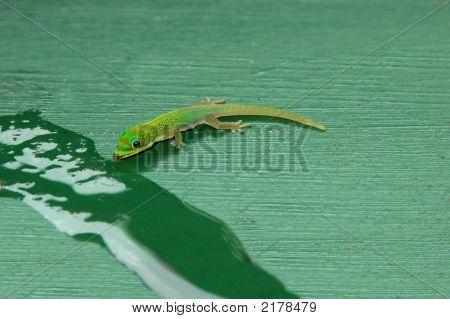 Drinking Gecko