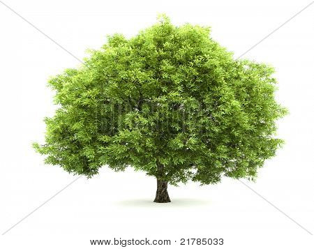 Deciduous tree isolated on a white background with light shadow