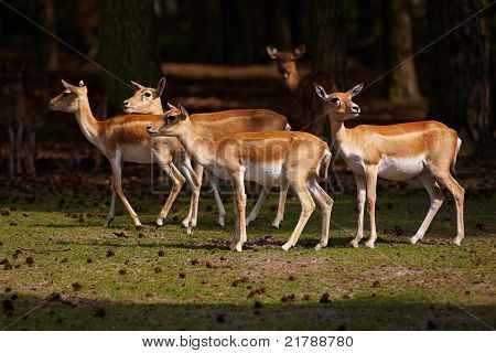 Herd Of Blackbuck Antilopes In A Dark Forest