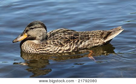 Close-up Of A Beautiful Duck Swimming In Summer Lake