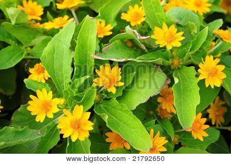 Melampodium divaricatum  (Pers.) DC.