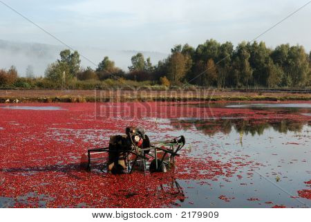 Cranberry Thresher In The Cranberry Bog