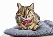 Cunning Bengal Cat With A Pink Collar Is Grinning Intriguingly poster
