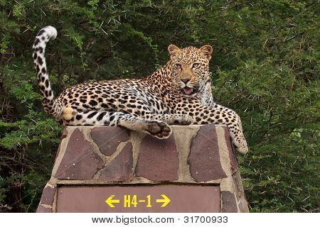 Leopard on road sign