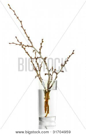 beautiful apricot blossoms in vase isolated on white