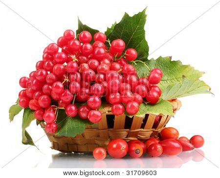red berries of viburnum in basket and briar isolated on white