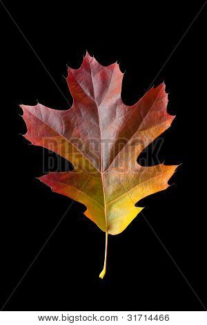 Oak Leaf 2 With Clipping Path