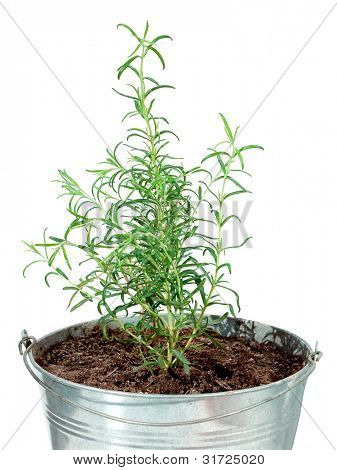 Rosemary inside a tin pot over a white background, Rosmarinus of ficinalis
