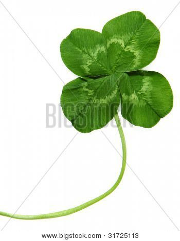 Close Up Of Four Leaf Clover On White Background