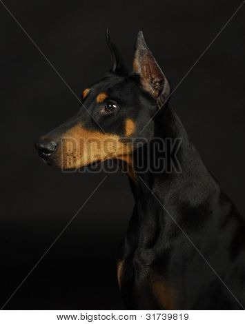 doberman pinscher  - female 3 years old