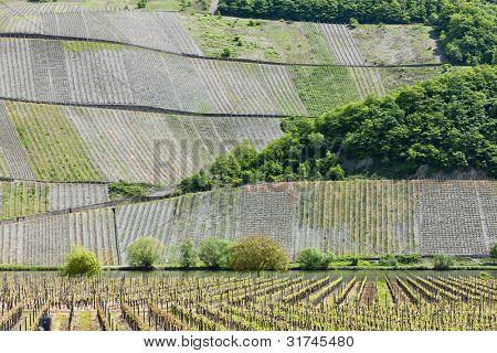 vineyars near Polich, Rhineland-Palatinate, Germany