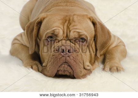 Attentive wrinkled dog on white carpet