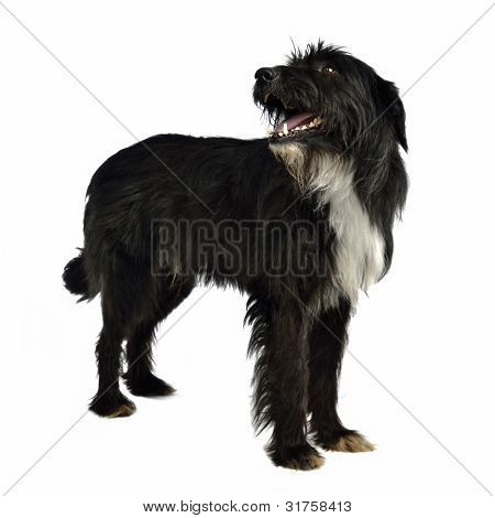 Black shaggy dog standing against white background