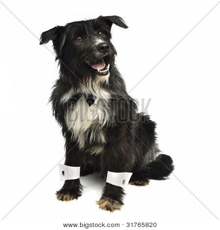 Gentleman dog with bow tie and white cuffs isolated