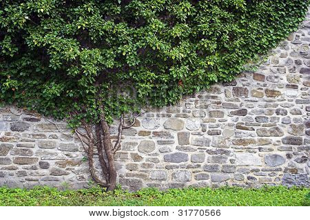 Green ivy leaf covered wall.