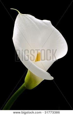 White calla with elegant curves isolated on black