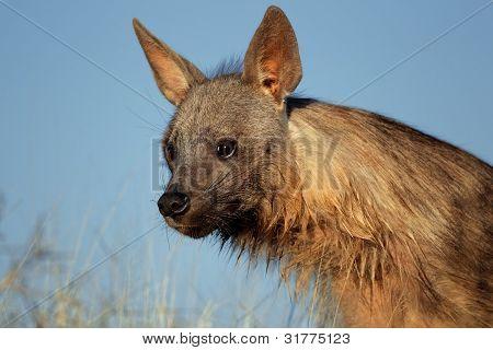 Brown Hyena Portrait