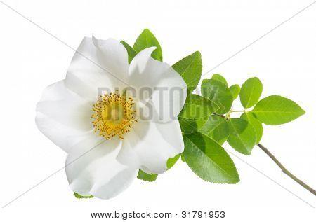 Cherokee Rose flower isolated on white