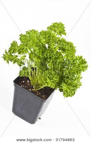 A pot of curly leaf parsley fresh from the greenhouse for planting in the home garden.  Curly leaf parsley is a biennial herb that is used more as a garnish than for it's culinary attributes.