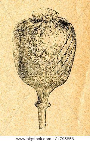 Opium poppy cut for harvesting opium - old illustration by unknown artist from Botanika Szkolna na Klasy Nizsze, author Jozef Rostafinski, published by W.L. Anczyc, Krakow and Warsaw, 1911
