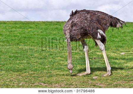 Avestruz comer grama