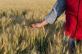 Male Hand Moving Over Wheat Growing On The Field. Field Of Ripe Grain And Mans Hand Touching Wheat I poster