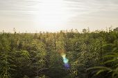 Marijuana Cbd Hemp Plants Field In Sunrise poster