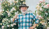 Gardening - Grandfather Gardener In Sunny Garden Planting Roses. Professional Gardener At Work. Port poster