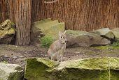 Cute Chacoan Mara (dolichotis Salinicola) Living In Captivity poster