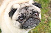 Portrait Of Cute Funny Purebred Pug Dog poster