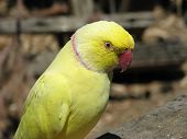 pic of ringneck  - yellow ringnecked parrot in a large walk in avery - JPG