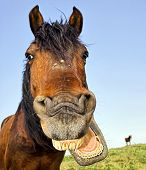 image of horse face  - Horse with a sense of humor - JPG