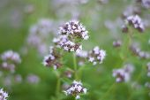 Wild Mint In The Field. Close-up. Outdoor, Mint Tea. Fresh Mint. poster