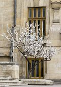 image of cherry trees  - flower tree - JPG