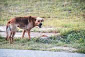 Hungry Stray Aggressive Dog In Clearing. Nearby Is Pile Of Dog Food. Help Stray Animals. poster
