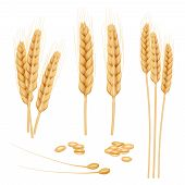 Wheat Realistic. Agriculture Healthy Organic Food Golden Grain Vector Wheat Collection. Illustration poster
