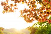Autumn. View Of Orange Maple Foliage And Trees With Green Foliage In The Background With Light. The  poster