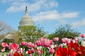 stock photo of house representatives  - Tulips in front of the Capitol building in spring - JPG
