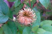 Hairy Flower, Macro Image Of Oversized Exotic Plant poster