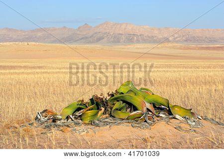 Welwitschia, Namib Desert