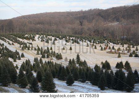 A Christmas Tree farm