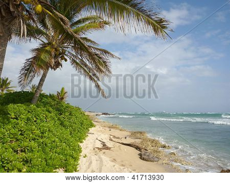 Coconut Tree On Beach At Barbars Point